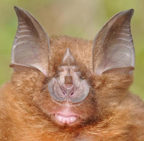 Rhinolophus affinis.jpeg